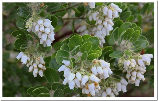 120211_UCSC_Arboretum_Arctostaphylos-viridissima-White-Cloud_03