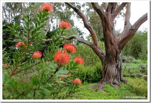 130715_KulaBotanicalGarden_Leucospermum-cordifolium Acacia-koa_001