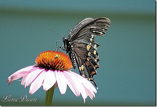 Coneflower_Butterfly