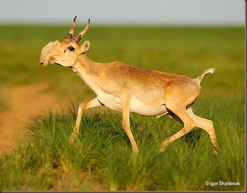 Amazing Animal Pictures The Saiga Antelope (7)
