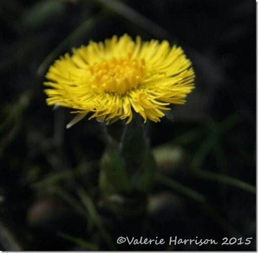 17-Coltsfoot