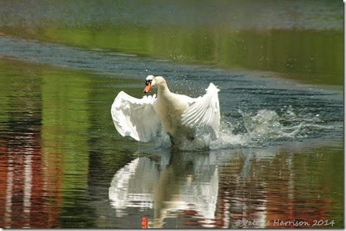 10-swan