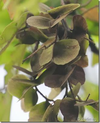 Terminalia calamansanai fruits