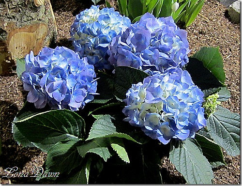 Hydrangea_Blue
