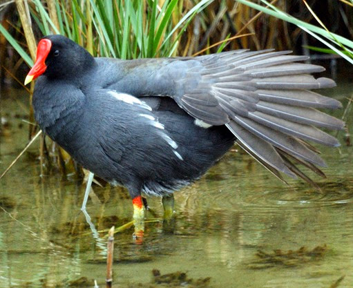 Amazing Pictures of Animals, Photo, Nature, Incredibel, Funny, Zoo, Common Moorhen, Gallinula chloropus, Aves, Alex (1)