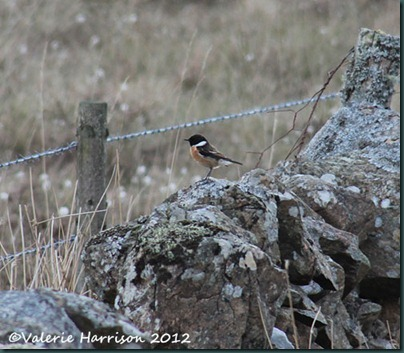 5-stonechat