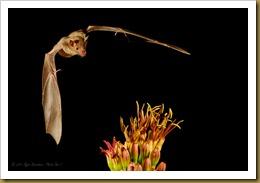 untitled Lesser Long-nosed Bat_D3C_2605 September 17, 2011 NIKON D300S