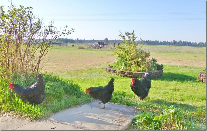 chickens 015