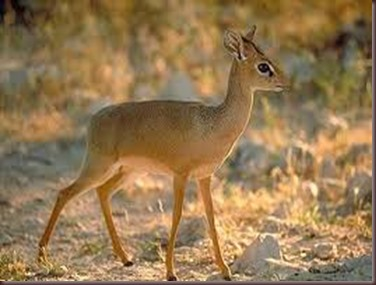 Amazing Pictures of Animals photo Nature, exotic, funny, incredibel Zoo, Dik-dik, antelope. Alex (8)