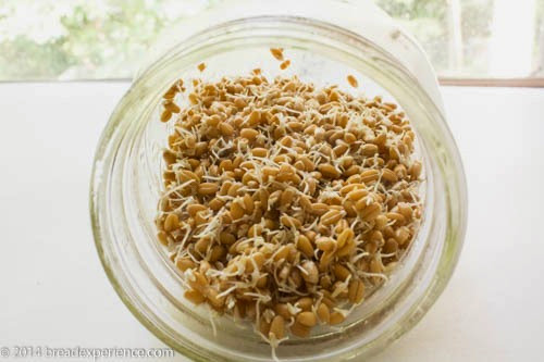 Sprouted Grains in a jar