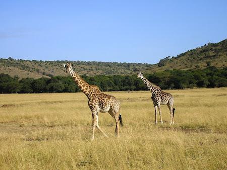 Safari: giraffes