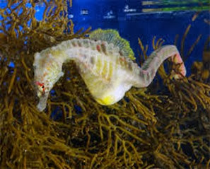 Amazing Pictures of Animals, Photo, Nature, Incredibel, Funny, Zoo, Big-belly seahorse, Hippocampus, Alex (2)