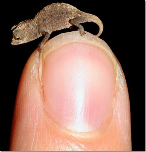 Brookesia Micra