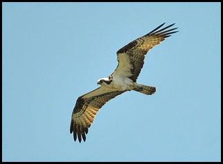 03a7e - Causeway- Gator crossing - Osprey
