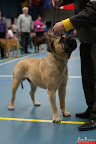 20130510-Bullmastiff-Worldcup-0262.jpg