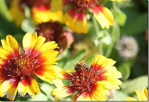 FPC_Gaillardia_Galya_BlazingSun_Bee