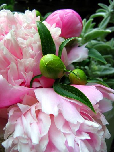 Spring wedding flowers - pink peonies