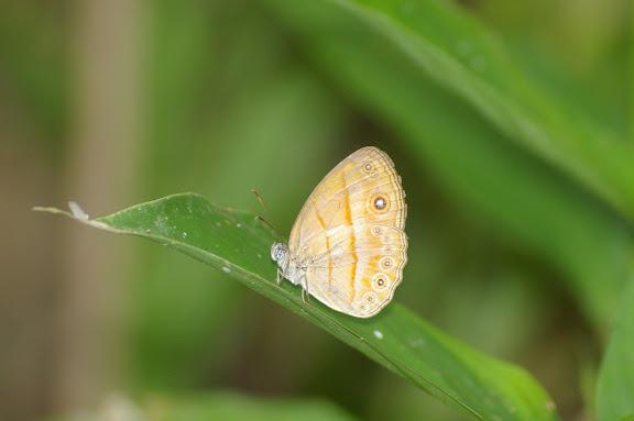 Mycalesis anapita fucienta FRUHSTORFER. Lot n°2, Sukau (Sabah, Malaisie, Bornéo), 6 août 2011. Photo : J.-M. Gayman