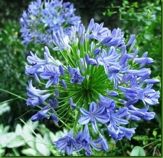 Agapanthus Azul Claro
