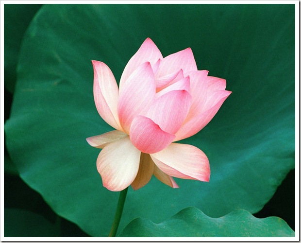 the_lotus_flower,_hawaii