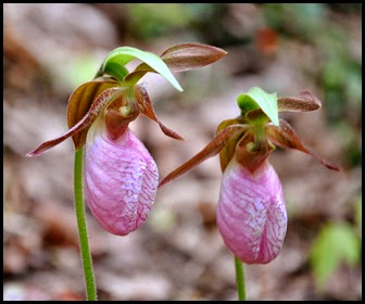 04 - Spring Wildflowers - Pink Lady Slippers - closeup