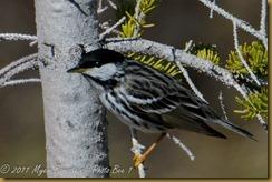 Blackpoll Warbler D7K_9864 NIKON D7000 June 20, 2011
