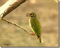 063 Coppersmith Barbet
