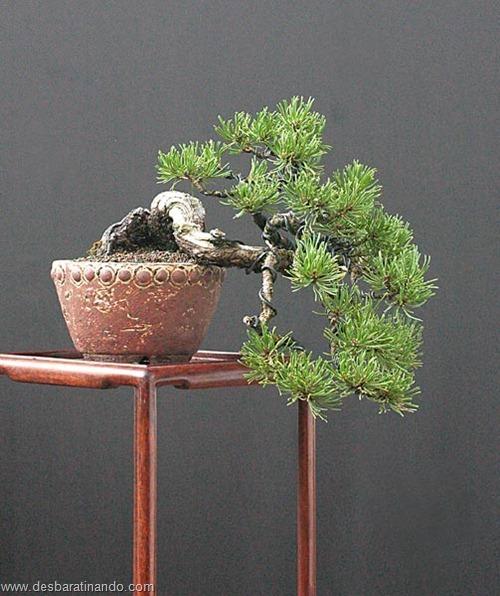 bonsais arvores em miniatura desbaratinando (25)