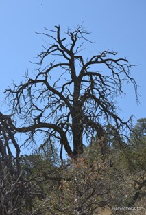 Dead tree on the trail