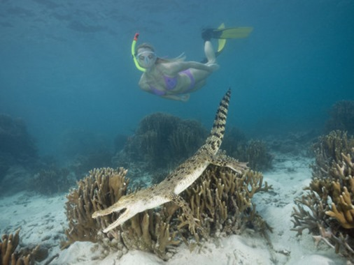 reinhard-dirscherl-snorkeler-skin-diver-near-a-saltwater-crocodile-swimming-over-coral-reef-crocodylus-porosus
