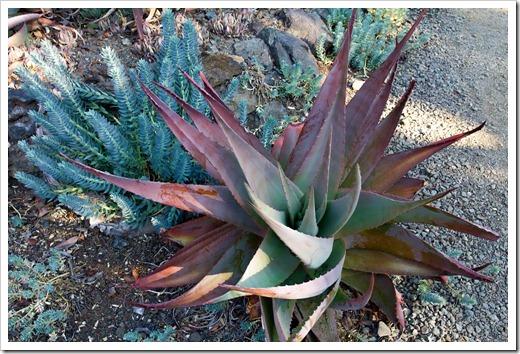 121013_RBG_fall_sale_aloe- -Euphorbia-myrsinites_