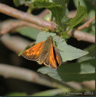 Large-Skipper (3)