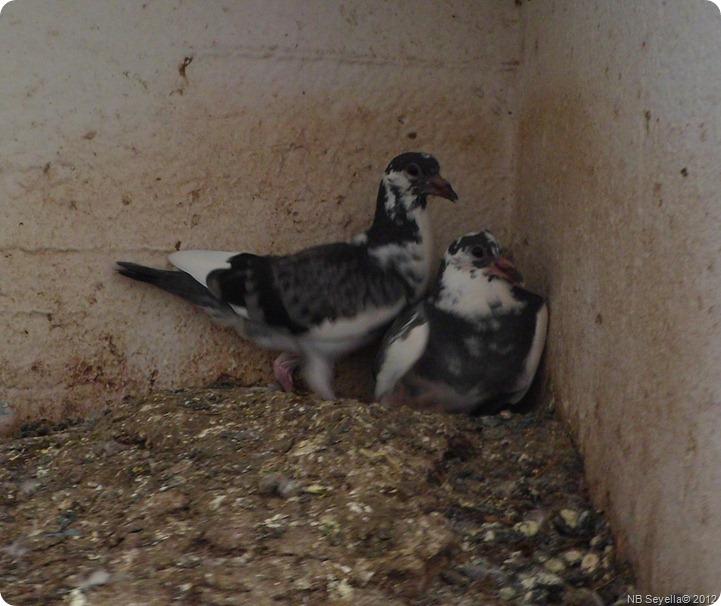 SAM_0006 Pigeon Chicks