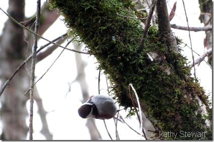 Chestnutbacked Chickadee