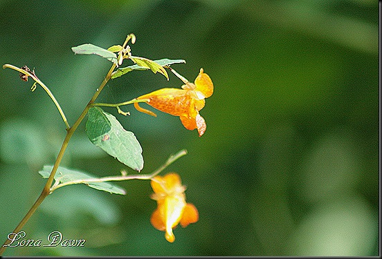CH_JewelWeed_Bloom