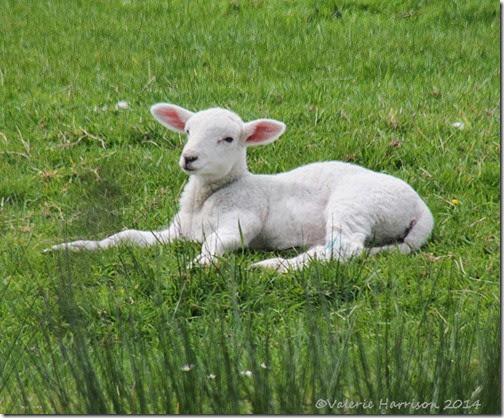 11-lamb