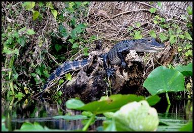 08 - Animals - Alligator 2a - baby