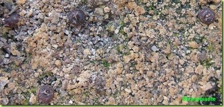 Ariocarpus furfuraceus Matehuala - SLP-2011-05-13_00022IMG_8738