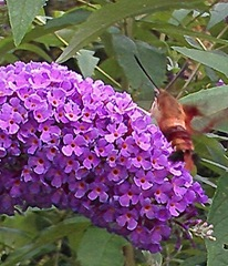 butterfly bush w hummingbird moth 8.2013