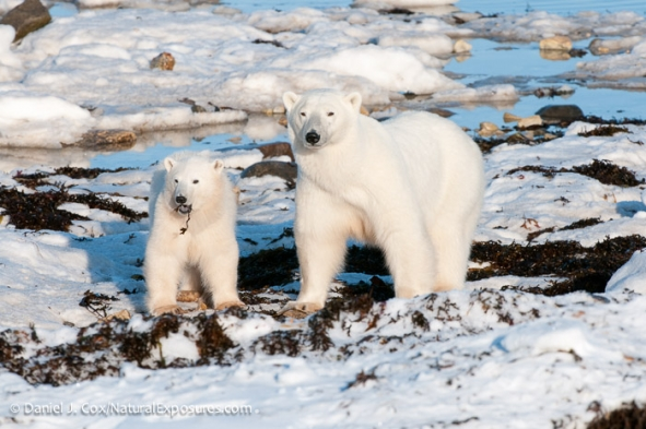A female polar bear and her cub snack on kelp on the shores of Hudson Bay while waiting for the sea ice to form in the fall. Such foods may fill bellies, but don't meet the bears' nutritional needs. Photo: Daniel J. Cox / Natural Exposures