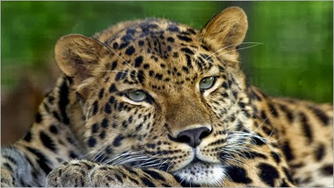 pocoyo-siluetas-de-la-cara-leopardos-fotos-db-290763