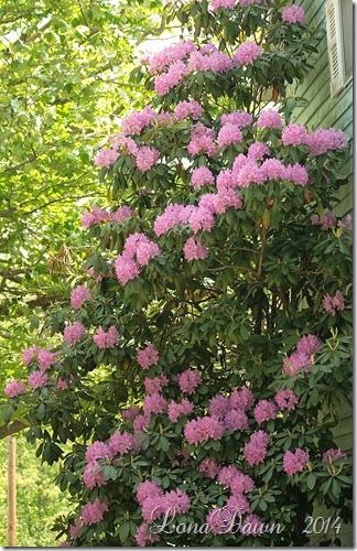 Rhododendron 5_23_2014