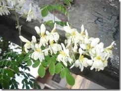 moringa, flores