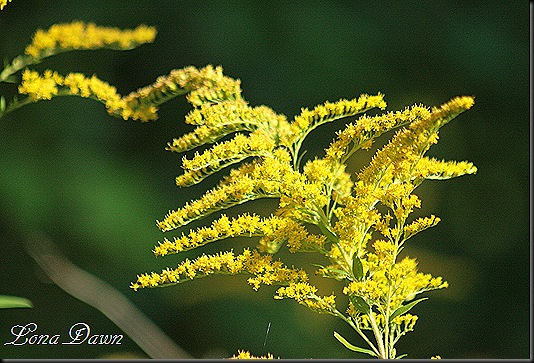 CH_SweetGoldenrod_2012