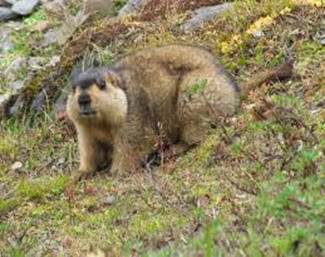 Amazing Pictures of Animals, Photo, Nature, Incredibel, Funny, Zoo, Himalayan marmot, Sciuridae, Mammalia, Alex (12)