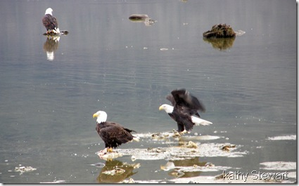 Eagles in the bay