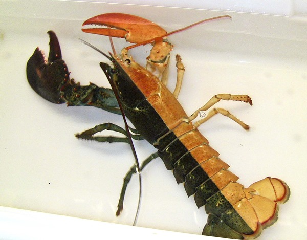 Gynandromorph Lobster 01