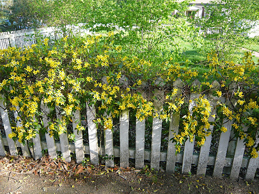 Gelsemium sempervirens, or yellow jessamine, winding around and over the top of a picket fence.