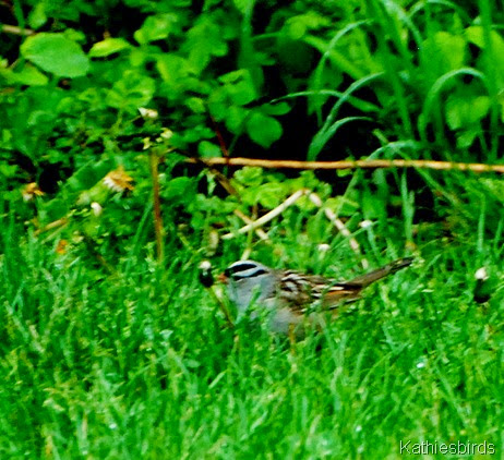 12. White-crowned sparrow-kab