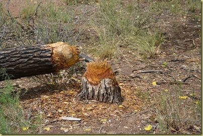 Beaver Damage-1